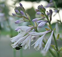 Summer Hostas by Gilda Axelrod