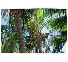 Coconuts growing in a palm tree Poster