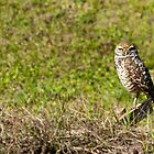 Burrowing Owl  by John  Kapusta
