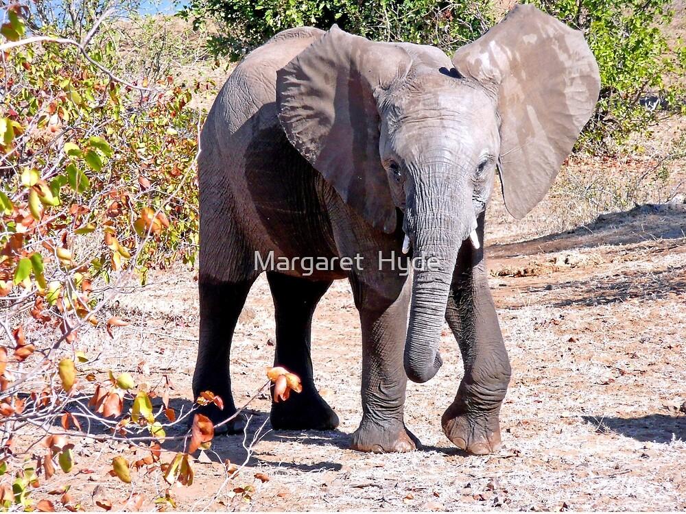 Elephant, Kruger, South Africa by Margaret  Hyde