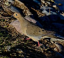 Mourning Dove by George I. Davidson