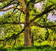 Burr Oak II by Roger Passman