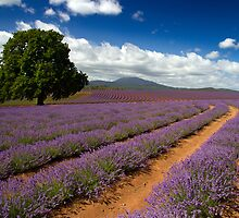 Lone Tree in Lavender - Bridestowe Estate, Tasmania by clickedbynic