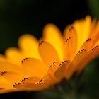 Calendula aglow by Celeste Mookherjee