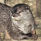 Oriental small-clawed otter by larry flewers