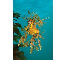 Leafy Seadragon. Photographic Print