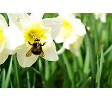 Queen Bee in a Daffodil Photographic Print