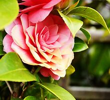 Pink Camelia  by Jessica Reilly