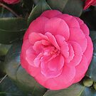 Bright colourful spring: camelia bloom in March by bubblehex08