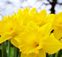Daffodils Forever by Jessica Reilly