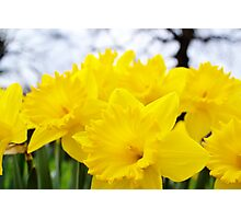 Daffodils Forever Photographic Print