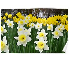 Field of Daffodils Poster