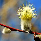 Pussy Willow Detail by ©The Creative  Minds