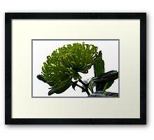 Green Shamrock Chrysanthemum. Framed Print