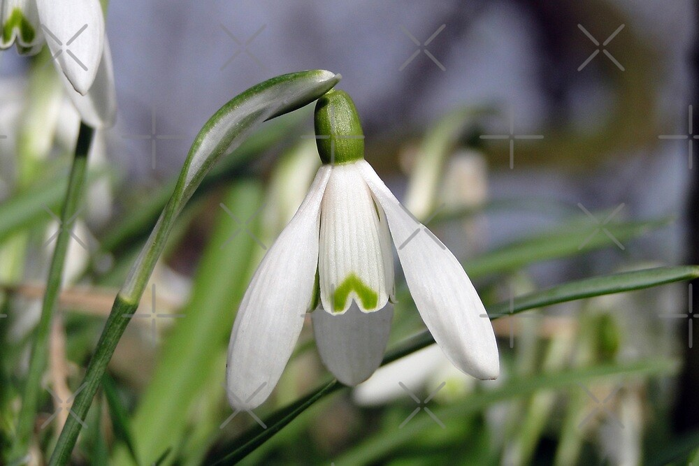 Galanthus in March by Barrie Woodward