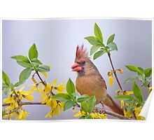 Mrs. Northern Cardinal in Spring Finery Poster