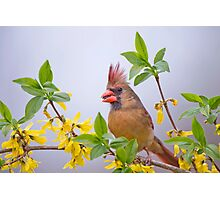 Mrs. Northern Cardinal in Spring Finery Photographic Print