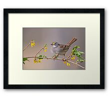 White Throated Sparrow in Spring Framed Print