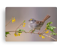 White Throated Sparrow in Spring Canvas Print