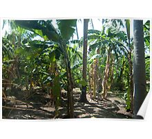 Banana palm plantation Poster