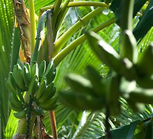 Bananas growing on a tree by photoeverywhere