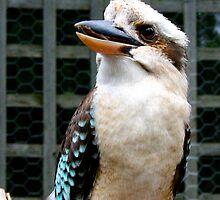 Kookaburra by Nicola Morgan