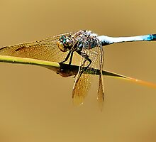 Dragonfly by Tracie Louise