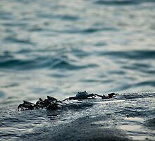 Small marine crabs on a rock by photoeverywhere
