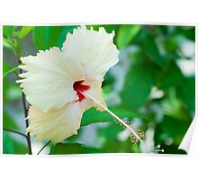 Pretty yellow hibiscus flower Poster