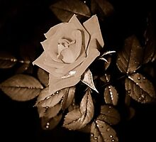 Rose Macro Cover by swami918