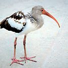 Juvenile white ibis by ♥⊱ B. Randi Bailey