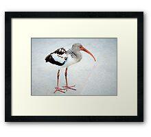 Juvenile white ibis Framed Print