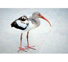 Juvenile white ibis Photographic Print