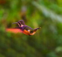 Speckled Hummingbird In Mindo, Ecuador by Al Bourassa