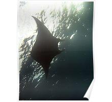 Manta ray swimming overhead Poster