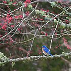 Bluebird in Cades Cove by photodug