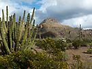 Organ Pipe Cactus  by Lucinda Walter