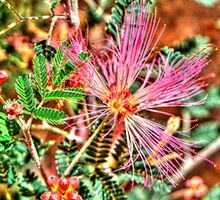 Pink Fairy Duster by Roger Passman