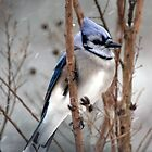 January Snow - Blue Jay by WalnutHill