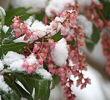 Signs of Spring 4 - Pieris Japonica by WalnutHill