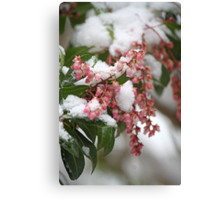 Signs of Spring 4 - Pieris Japonica Canvas Print