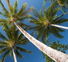 tall palm trees by photoeverywhere