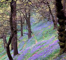 English Bluebell Wood by Vincent Abbey