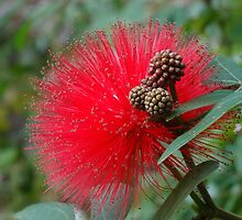 Red Bottlebrush Flower - Callistemon - Hong Kong by LindyLouMac