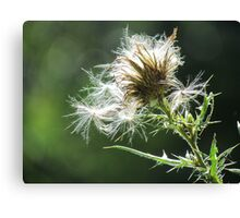 Thistle Fluff Canvas Print