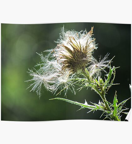 Thistle Fluff Poster