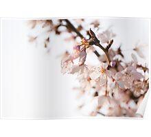 Evening Cherry Blossom Poster