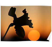 Sunset Daffodil Poster