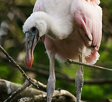 Roseate Spoonbill Youngster by Carol Bailey White