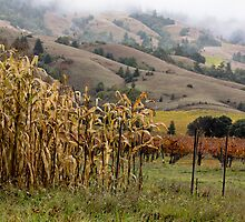 Corn and Grapevines, Mendocino  by Denice Breaux